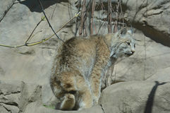 Jeune Canada Lynx dans le mouvement Images stock