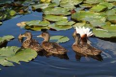 Jeune canard de canard sur la surface de l'eau Image libre de droits