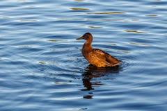 Jeune canard flottant lentement par le lac bleu Photos stock