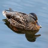 Jeune canard flottant lentement par le lac bleu Photographie stock libre de droits