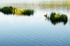 Jeune canard sauvage dans la lumière molle du soleil de matin Image stock