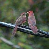 Jeune cardinal de alimentation avec amour Photos stock