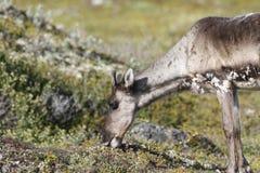 Jeune caribou de la stérile-terre frôlant le long de la toundra en août près d'Arviat, Nunavut Photos stock