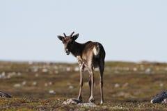 Jeune caribou de la stérile-terre se tenant sur la toundra verte en août Photos stock