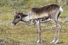 Jeune caribou de la stérile-terre se tenant sur la toundra verte en août Image stock
