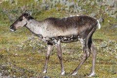 Jeune caribou de la stérile-terre se tenant sur la toundra verte en août Image libre de droits
