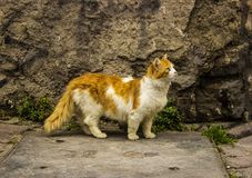 Jeune Cat Walking Near jaune pelucheuse le vieux mur photo libre de droits