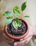 Jeune centrale dans des mains Le ressort plantant la plant gommifère photos stock
