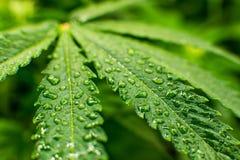 Jeune centrale de cannabis Cannabis au début de la floraison Fond vert des feuilles photographie stock