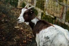 Jeune chèvre à une ferme Photographie stock