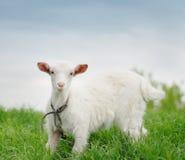 Jeune chèvre Photo stock