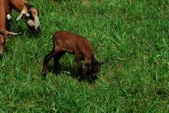 Jeune chèvre Photographie stock libre de droits