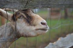 Jeune chèvre Photo libre de droits