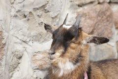 Jeune chèvre avec le fond de mur en pierre Photo stock