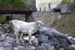Jeune chèvre blanche sur des pierres Images stock