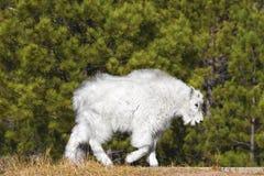Jeune chèvre de montagne en monument national du mont Rushmore, Etats-Unis Images libres de droits