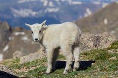 Jeune chèvre de montagne mignonne Photo libre de droits