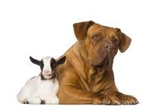 Jeune chèvre domestique et Dogue de Bordeaux Photos libres de droits