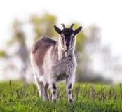 Jeune chèvre drôle frôlant dans un temps clair de pré vert luxuriant et un l photo stock