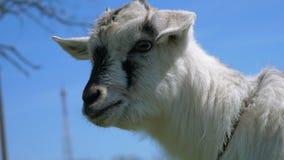 Jeune chèvre drôle, 4k clips vidéos