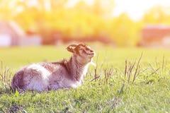 Jeune chèvre drôle se situant dans le pré exposant le visage à la lumière du soleil photos libres de droits