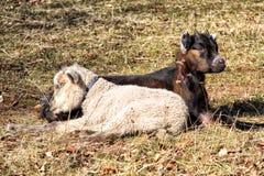 Jeune chèvre noire avec les moutons blancs dormant ensemble Photographie stock libre de droits