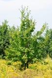 Jeune chêne dans le pré près du bois Photographie stock libre de droits