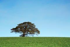 Jeune chêne en soleil d'or Photographie stock