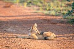 Jeune chacal à dos noir s'étendant sur la route photos libres de droits