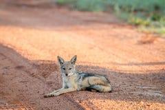 Jeune chacal à dos noir s'étendant sur la route photographie stock