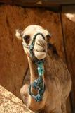 Jeune chameau Image stock