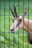 Jeune chamois Photo libre de droits