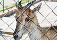 Jeune chamois Photos stock