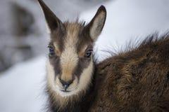 Jeune chamois d'alpes Photos stock