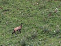 Jeune CHAMOIS de montagne tout en frôlant l'herbe de pré Images stock