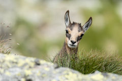 Jeune chamois derrière une roche Photos stock