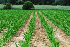 Jeune champ de maïs Photo stock