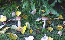 Jeune champignon de boletus Image stock