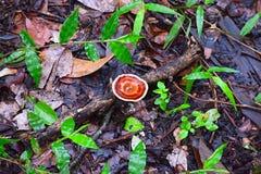 Jeune champignon de Laetiporus - poulet des bois ou de l'étagère de soufre - sur une branche d'arbre tombée sur Forest Earth humi images stock