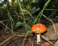 Jeune champignon rouge Photos libres de droits