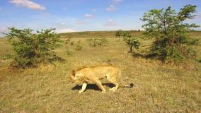 Jeune chasse de lion dans la savane chez l'Afrique banque de vidéos