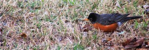 Jeune chasse de Robin Image stock