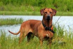 Jeune chasseur au lac Image libre de droits