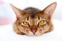 Jeune chat abyssinien photo libre de droits