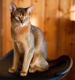 Jeune chat abyssinien brun image stock