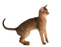 Jeune chat abyssinien d'isolement sur le fond blanc Images libres de droits