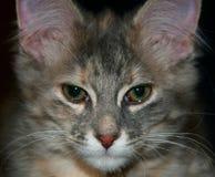Jeune chat avec les yeux grands photographie stock