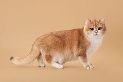 Jeune chat britannique d'or Images stock