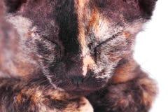 Jeune chat canadien de sphinx Photos libres de droits