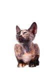 Jeune chat canadien de sphinx Images libres de droits